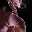Purple Phalaenopsis Detail