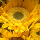 Sunflower One