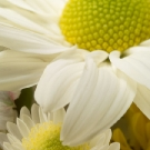 White Daisy Three